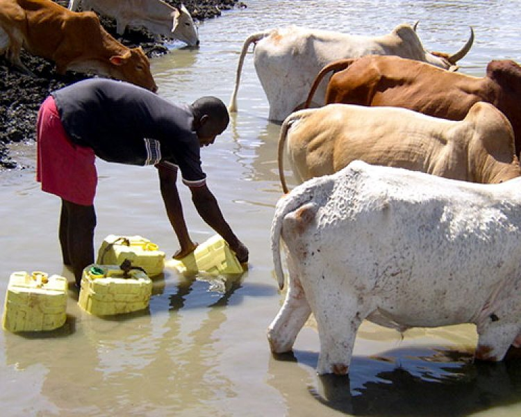 collecting water with cows, Africa